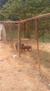 Những chú lợn  Tên Lửa  đầu tay đã được chăn nuôi tại xn Chiêm hóa